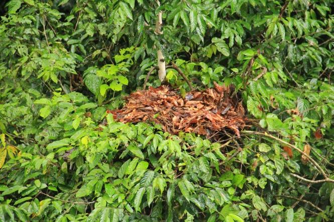"""A """"bachelor male"""" orangutan's nest! / Poikamiesorangin sotkuinen pesä"""